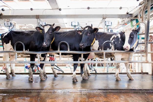 Fokken van vee op een veehouderij.