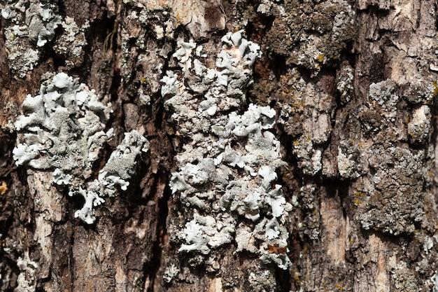 Foliose lichen-textuur op de boom. zeer gedetailleerde schimmel en mos in het buitenbos. bizzare plantkunde. schimmel macro groeit op de houten schors. textuur.
