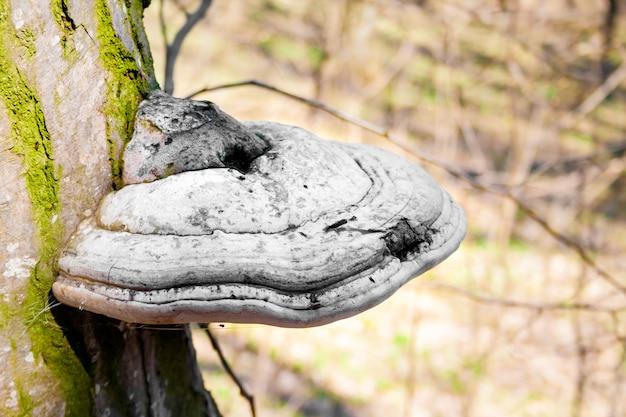 Fomes fomentarius (algemeen bekend als de tondelschimmel) op levende boom