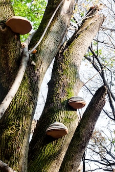 Fomes fomentarius (algemeen bekend als de tondelschimmel) op levende boomstam in de herfstbos