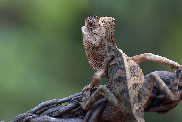 Forest dragon hagedis klimmen op boomtak
