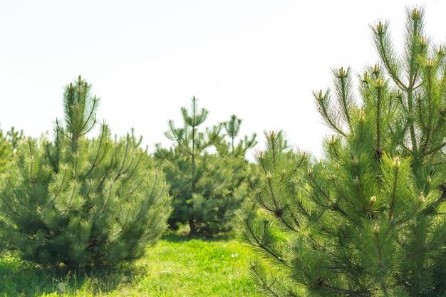 Forrest van groene pijnbomen als een