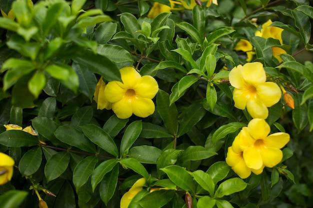 Forsythia bloeit op een struik met groene bladeren.