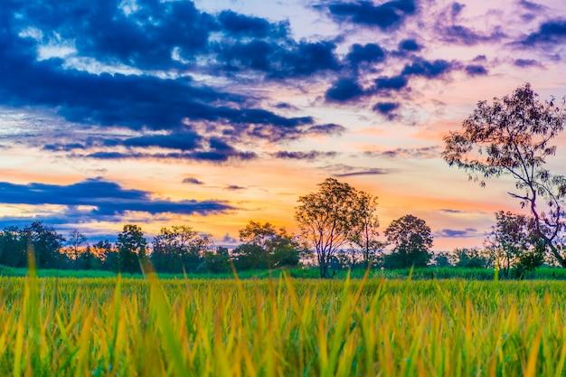 Foto's van rijstvelden.