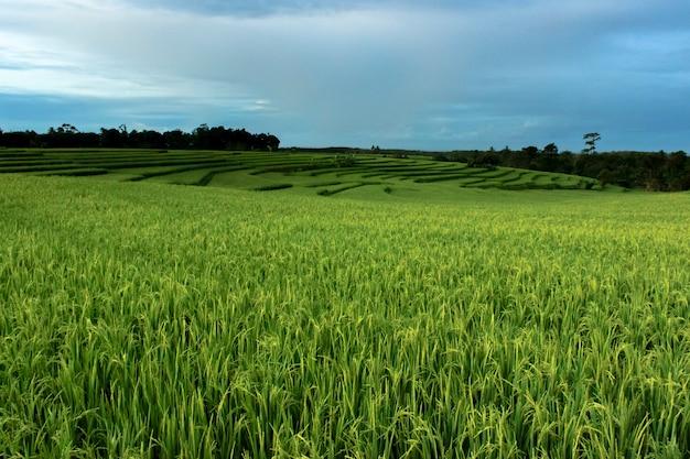 Foto's van uitzicht op groene rijstvelden in indonesië
