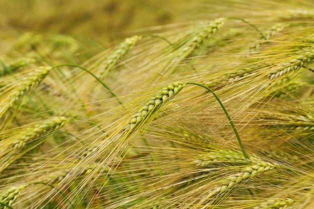 Foto tarwe close-up, velden van de oekraïne landbouw