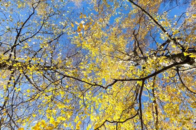 Foto van boomstammen van onderen met jonge bladlente met blauwe lucht, lente