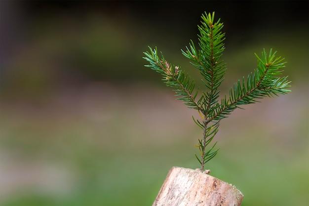 Foto van de abstracte stomp in de natuur met vage donkere achtergrond. oude boomstronk. droge dode addertje onder het gras met een pijnboomtak erop. het begin van nieuw leven.