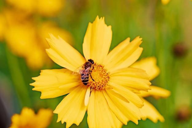 Foto van een bij die nectar verzamelt en stuifmeel op een mooie gele bloem uitspreidt
