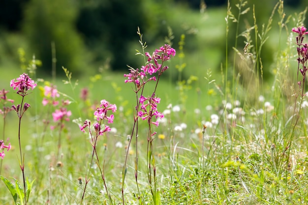 Foto van een bloeiend klein gras in de lente, details van een prachtige wilde bloeiende plant van roze of rode kleur