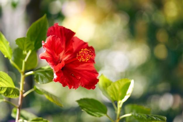 Foto van een bloeiende hibiscusbloem op een groene achtergrond. hoge kwaliteit foto