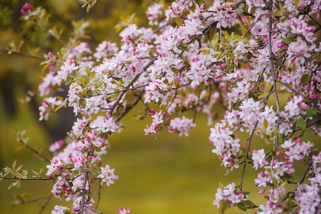 Foto van een bloesemboom, in de lentepark
