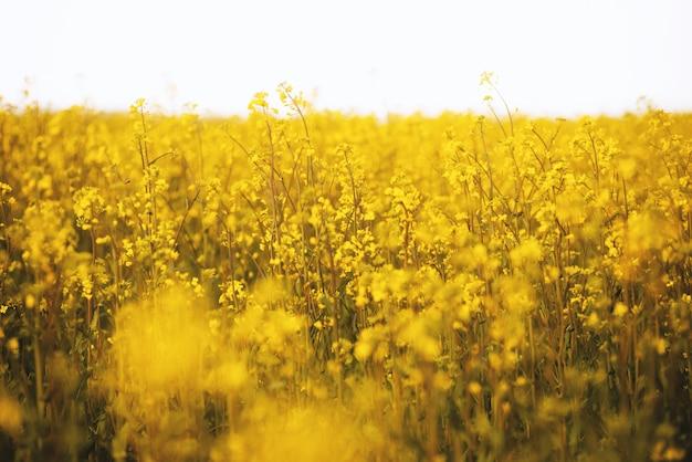 Foto van een geel bloemengebied, mooi aardconcept