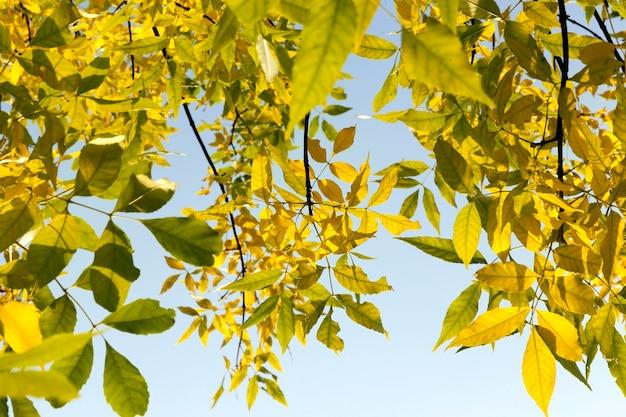 Foto van een geel de herfstgebladerte van een esdoorn van de esboom in het wild