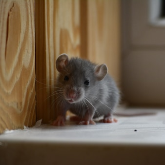 Foto van een kleine grijze rat