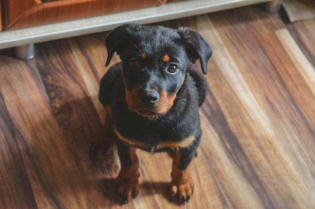 Foto van een kleine rottweiler-puppy