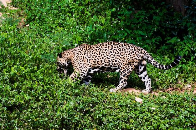 Foto van een luipaard die door de struiken scharrelt.