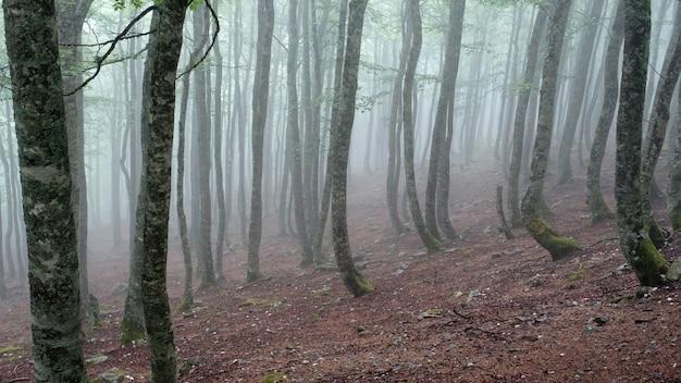 Foto van een mistig bos met hoge bomen
