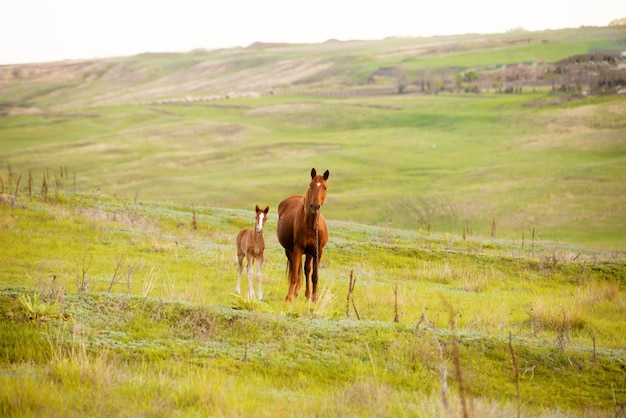 Foto van een moederpaard en een klein veulen in het veld, mooie bruine dieren