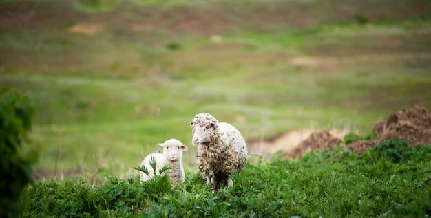 Foto van een schaapmoeder en babylam bij ingediende, leuke pluizige dieren