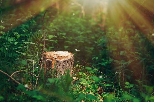 Foto van een schilderachtige boomstronk in het zonlicht in het groene bos, de lentetijd. mooie aard in de ochtend in de mist. magisch sprookjesbos met mysterieuze lichten. ontbossing