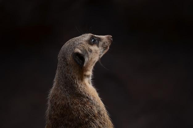 Foto van een schildwacht meerkat met vage achtergrond