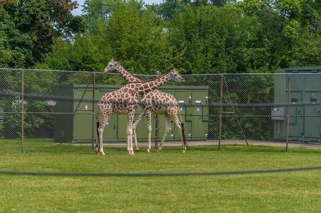 Foto van giraffen die lopen in een hof omgeven door hekken en groen in een dierentuin