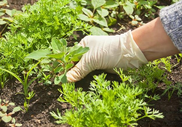 Foto van gloved vrouwenhand die onkruid houden en het verwijderen uit grond