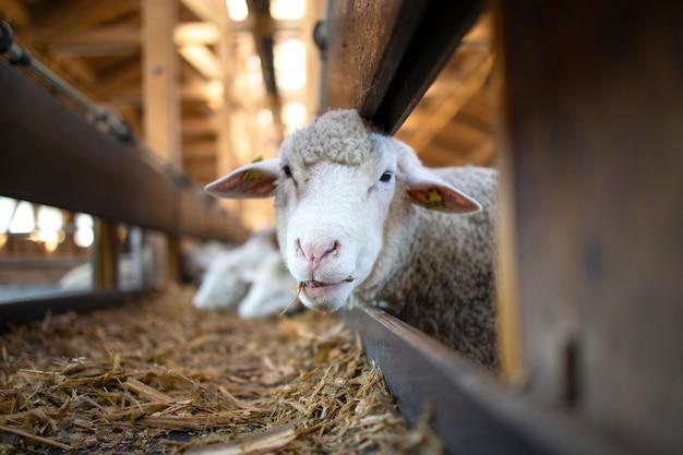 Foto van grappige schapen dier kauwen voedsel en staren naar de camera