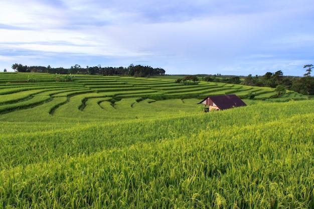 Foto van groene en verse rijstvelden in bengkulu utara, indonesië