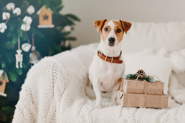 Foto van jack russell hond zit op de bank in de woonkamer in de buurt van twee geschenkdozen, wacht op wintervakantie, versierde kerstboom erachter.