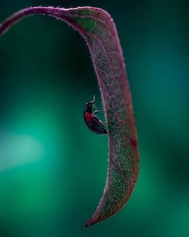 Foto van klein lieveheersbeestje dat op het blad klimt.