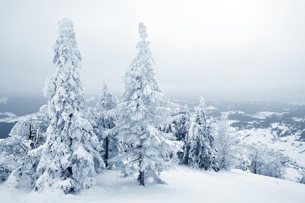Foto van kleine pijnbomen bedekt met sneeuw. lichte achtergrond, mooi winterlandschap