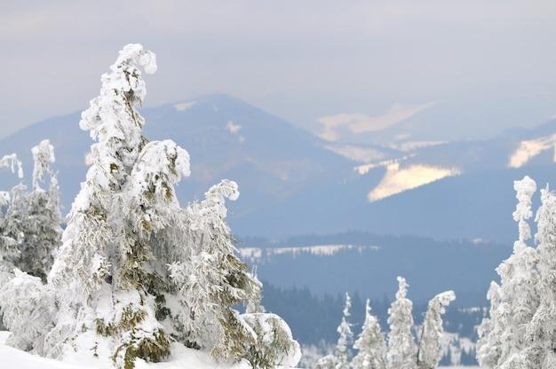 Foto van kleine pijnbomen bedekt met sneeuw