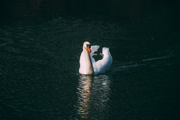 Foto van mooie zwaan die op de rivier van donau op aardige de lentedag zwemmen