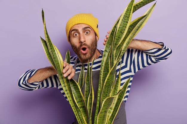 Foto van onder de indruk ongeschoren man houdt de handen op de groene sansevieria-plant, heeft een verbaasde blik, draagt een gestreepte trui en een gele hoed, geïsoleerd op een paarse achtergrond. bloei in pot. thuis tuinieren