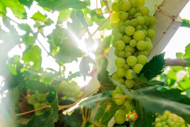 Foto van rijpe witte druiftak, druivenbladerenachtergrond, smakelijke zoete vruchten, warm zonlicht door verse groene druivenbladeren, wijnstokkenproductie, wijnmakerijindustrie, wijngaardenvallei