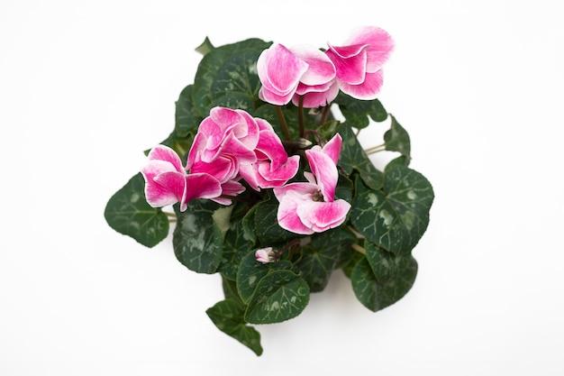 Foto van roze kleur cyclomene perzische bloem roze kleur
