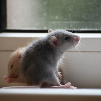 Foto van twee kleine rattenpups op de achtergrond van het raam