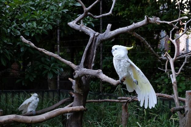 Foto van twee zwavel-kuifkaketoe op boomtakken in een dierentuin