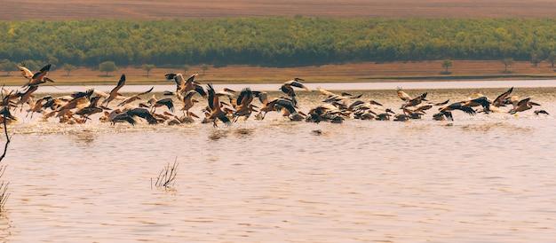 Foto van vele pelikanen die tijdens de zomertijd over meer vliegen