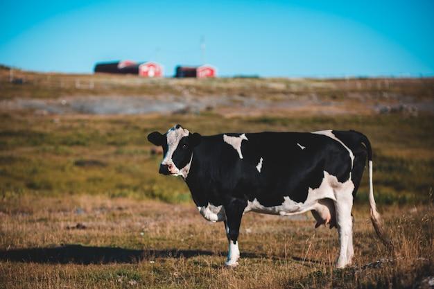 Foto van zwart-witte koe die op grasgebied loopt