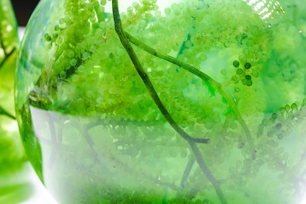 Fotobioreactor in laboratorium, groene algen biobrandstofindustrie, onderzoek naar behandeling van brandstofinstallaties in industriële laboratoria voor virusbeschermingsvaccin, coronavirus covid-19-medicijn of energie-olie