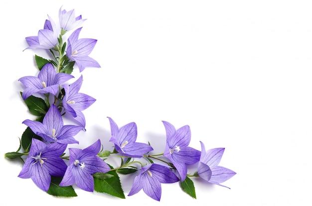 Fotohoek van bellflowers wordt over wit wordt geïsoleerd gemaakt dat