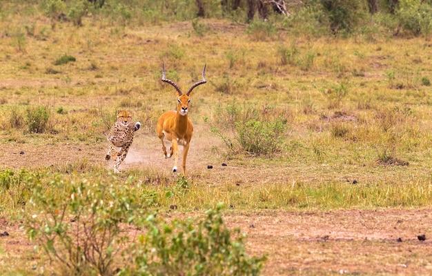Fotoserie cheetah op jacht naar grote impala