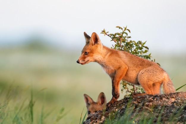 Fox cub jonge rode vos staat op een rots in het avondlicht