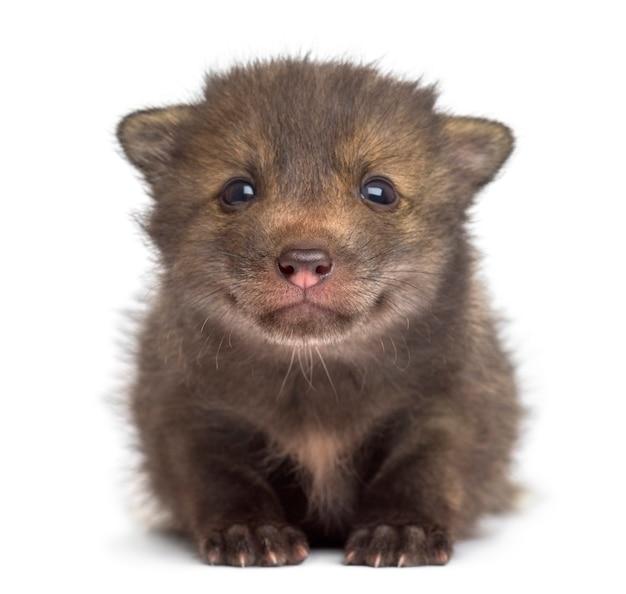 Fox cub zit voor een witte muur