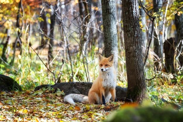 Fox kijkt uit door de bomen in het mystieke bos in de herfst.