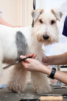 Fox-terrier krijgt zijn haar knippen