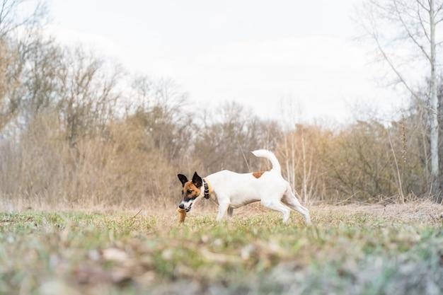 Fox-terrier-puppy het spelen met een stok in een park. jonge hond geniet van een wandeling en ligt op het gras in een prachtige natuur